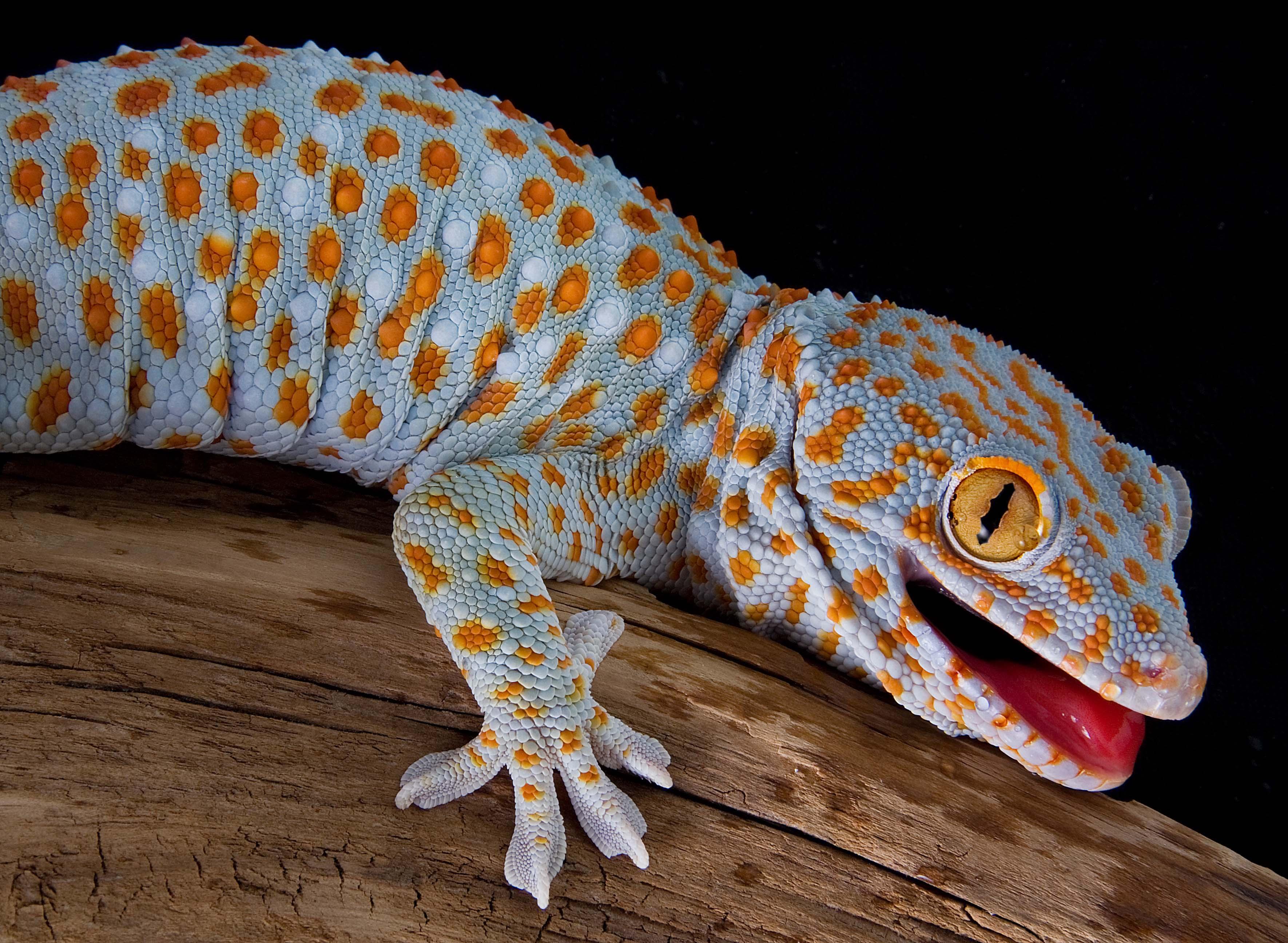 tokee gecko bunt