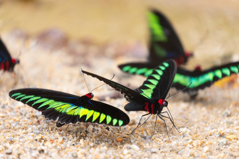 Mehrere Trogonoptera brookiana auf Sand