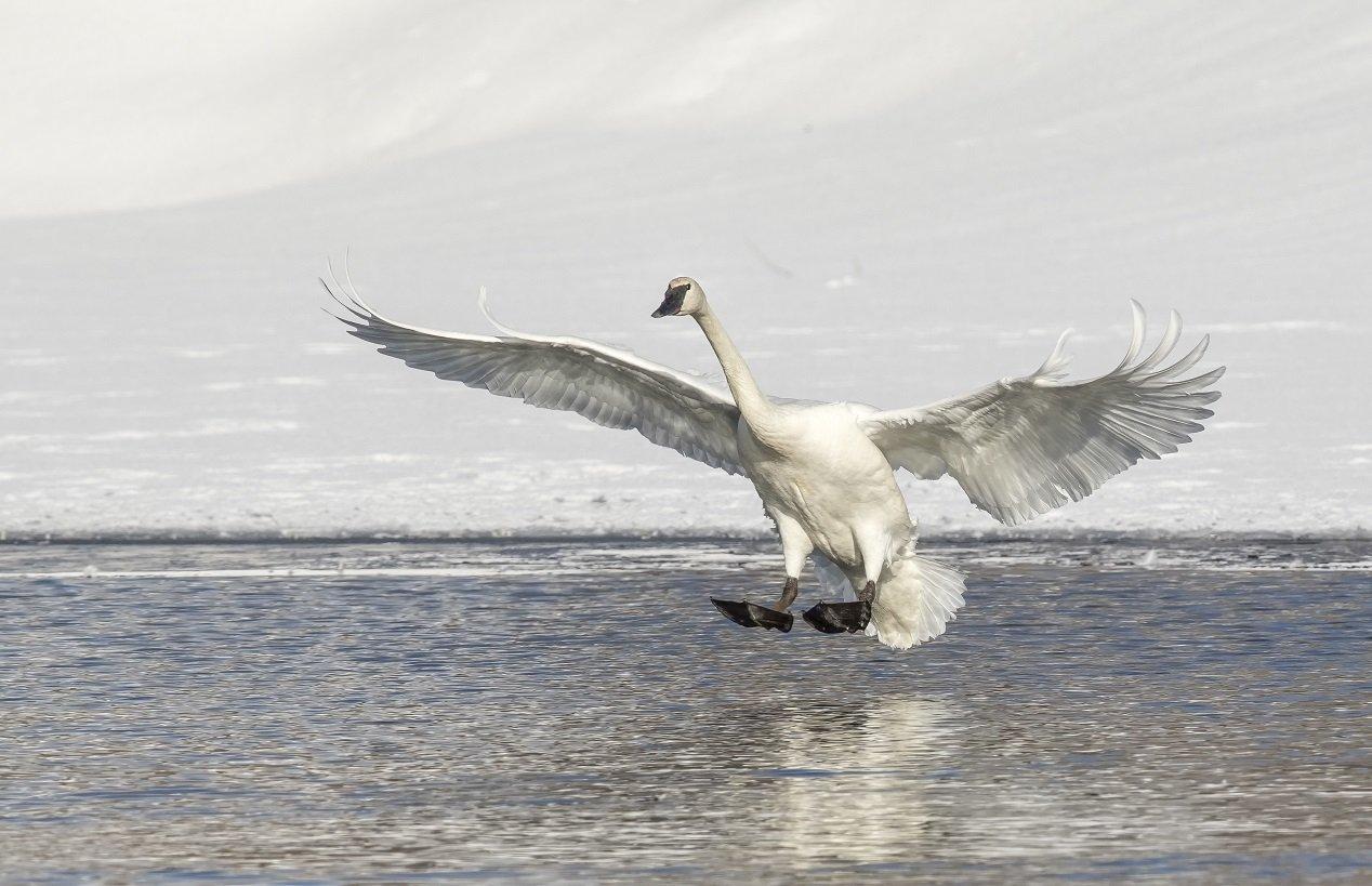 Trompeterschwan beim Landen auf Wasser