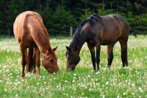 hannoveraner pferde warmblut koppel
