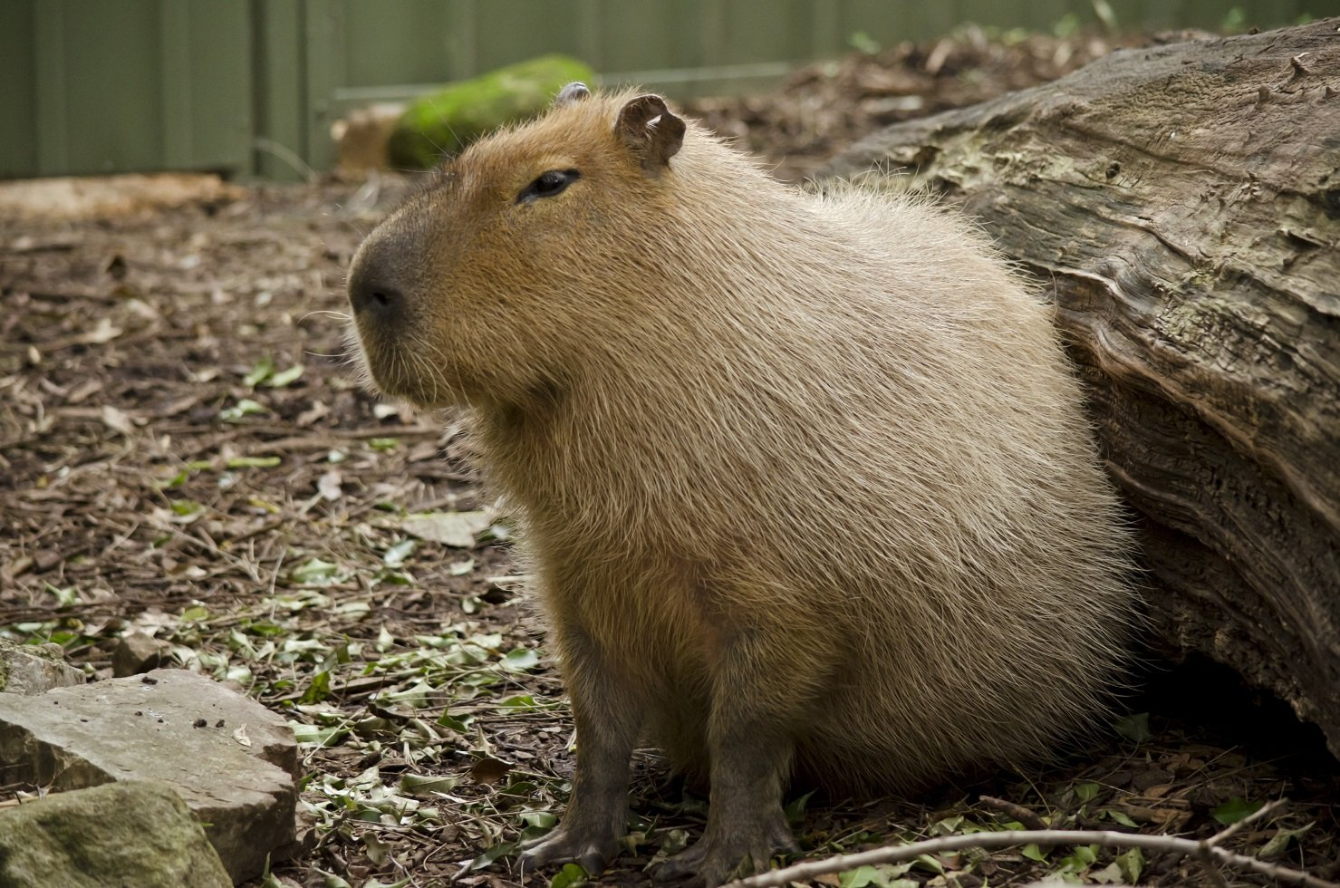 Wasserschwein oder Capybara