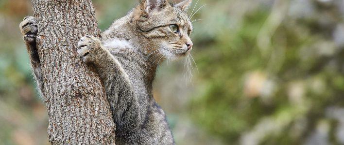 Wildkatze Felis silvestris