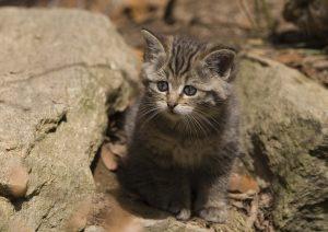 wildkatze kitten