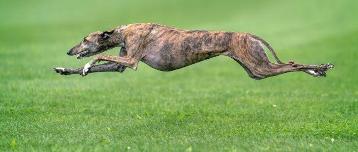 Windhund sprintet