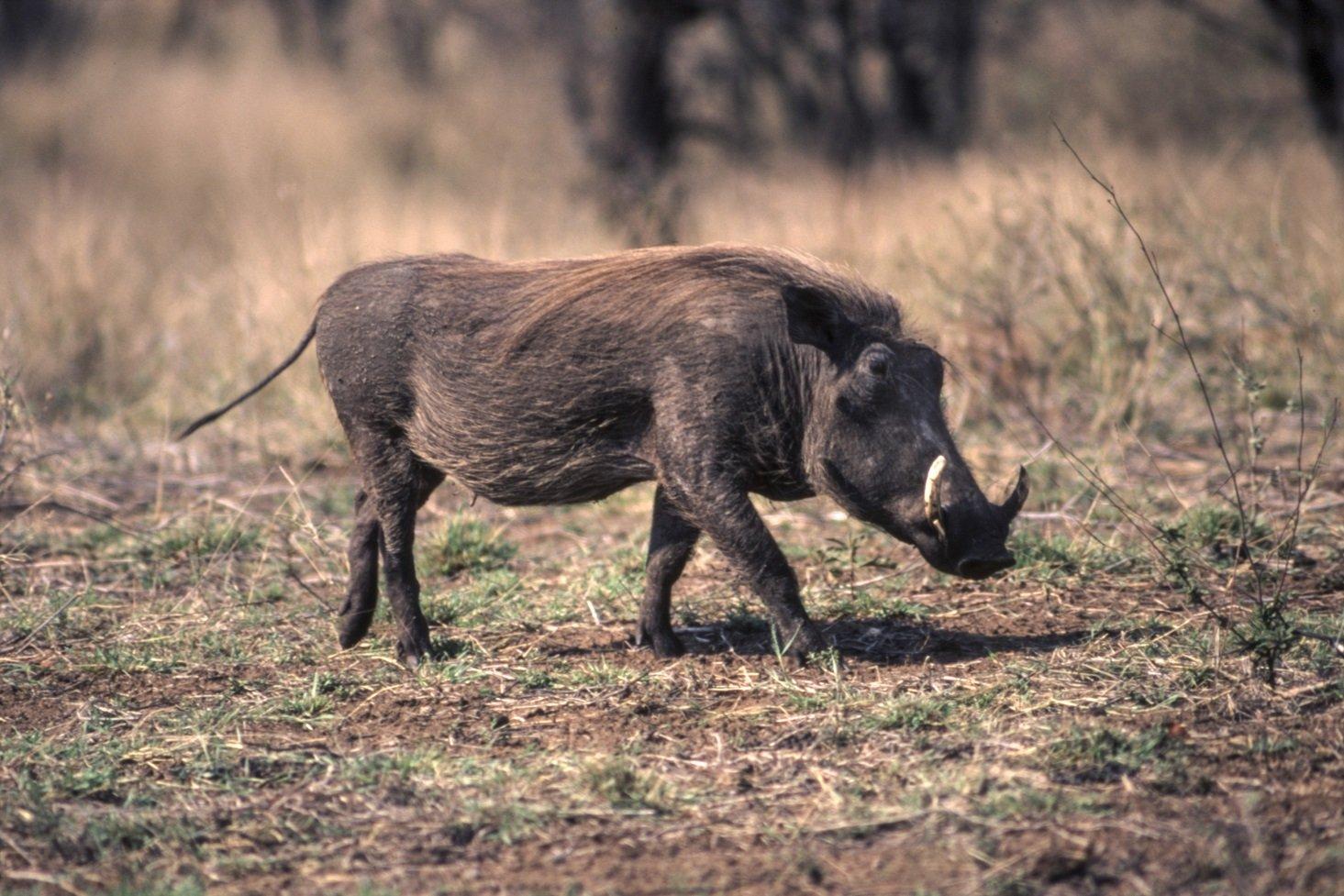 Wüstenwarzenschwein