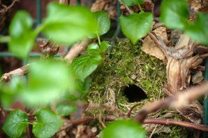 zaunkönig nest tarnung