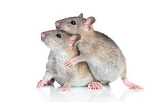 zwei ratten kuscheln