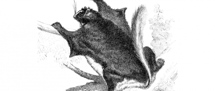 Zwerg-Dornschwanzhörnchen (Illustration)