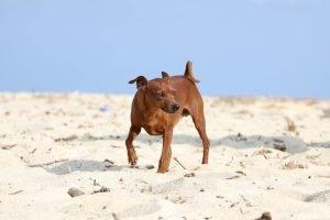 zwergpinscher am strand