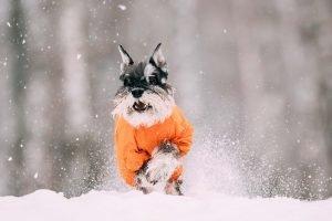zwergschnauzer im schnee