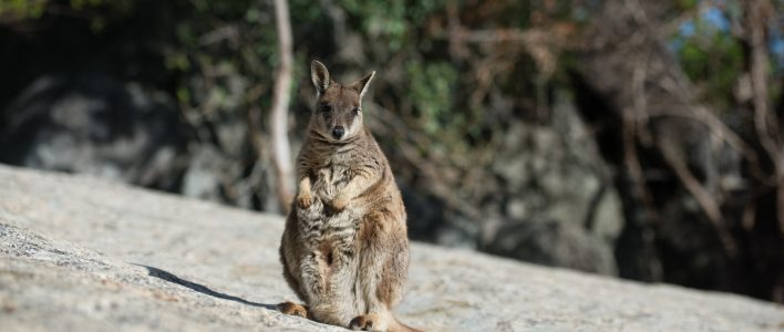 Zwergsteinkänguru mit Baby im Beutel