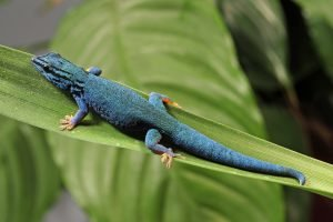 zwergtaggecko gecko blau